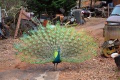 Paon masculin avec les plumes déployées Photos stock