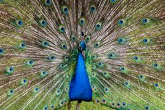 Paon masculin montrant le plein plumage images stock