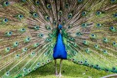 Paon masculin montrant le plein plumage photo libre de droits