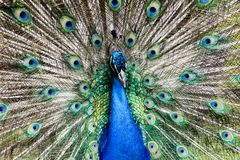 Paon masculin montrant le plein plumage photographie stock