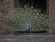 Paon montrant à l'entrée d'un château photographie stock