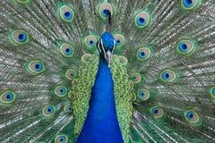 Paon montrant les plumes et le plumage vibrant colorés photo stock
