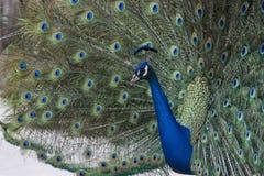 Paon montrant ses plumes Image libre de droits