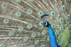Paon ou peafowl indien, Costa Rica Images stock