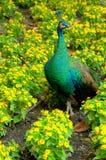 Paon parmi des fleurs Photographie stock libre de droits