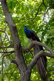 Paon sur l'arbre Photo libre de droits