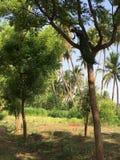 Paon sur l'arbre Photos stock