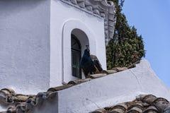Paon sur la chapelle orthodoxe grecque sur l'île de souris sur l'île grecque de Corfou Photos libres de droits