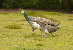 Paonne femelle avec le peachick sur son côté Cornouailles, Angleterre photo stock