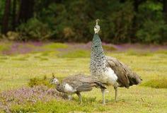Paonne femelle avec le peachick sur son côté Cornouailles, Angleterre image libre de droits