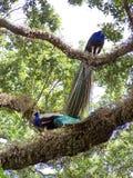 Paons à un parc d'oiseau dans le Fort Lauderdale Images stock