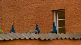 Paons affamés Photo libre de droits