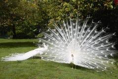 Paons blancs dans un jardin Image libre de droits