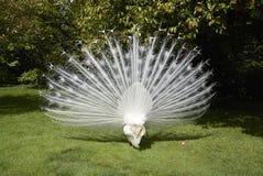 Paons blancs dans un jardin Images libres de droits