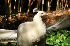 Paons blancs dans un jardin photo stock