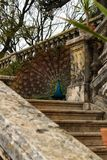 Paons colorés dans un jardin Photographie stock libre de droits