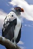 Papà del re Vulture - di Sarcoramphus fotografia stock