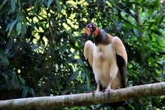 Papà di Sarcoramphus - avvoltoio brasiliano variopinto Fotografie Stock