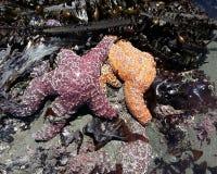 Papá de la mamá y estrellas de mar del bebé Imagen de archivo libre de regalías