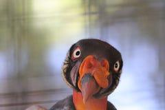 Papá 2 de Sarcoramphus do abutre de rei fotos de stock royalty free