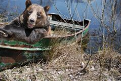 Papa Bear In Boat stock photo