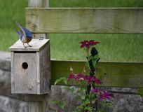 Papa Bluebirds Dance Royalty Free Stock Photo