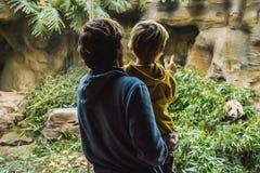 Papa et fils au panda de montre de zoo manger en bambou photographie stock