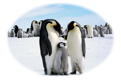 Papa, Mama and I. Family of Emperors penguins Stock Photos