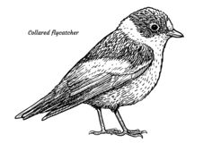 Papa-moscas colocado um colar, ilustração dos albicollis de Ficedula, desenho, gravura, tinta, linha arte, vetor ilustração stock