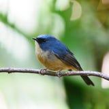 Papa-moscas De ardósia-azul masculino Imagem de Stock Royalty Free