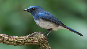 Papa-moscas do azul de Hainan Fotografia de Stock Royalty Free