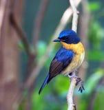 Papa-moscas do azul do monte Imagem de Stock