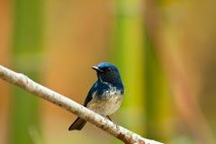 Papa-moscas masculino bonito do azul de Hainan fotografia de stock