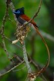 Papa-moscas masculino do paraíso Foto de Stock Royalty Free