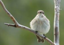 Papa-moscas pied europeu, fêmea Fotografia de Stock Royalty Free