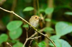 papa-moscas Rufous-sobrancelhudo (solitaris de Ficedula) fotos de stock