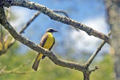 Papa-moscas social do pássaro no ramo na floresta Imagem de Stock Royalty Free