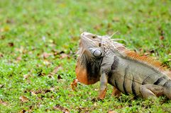 Papada verde de la iguana Fotos de archivo libres de regalías