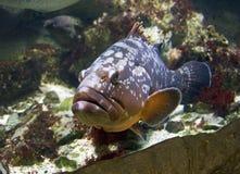 Papadas bajas grandes de los pescados despredadores de Promikrops Fotografía de archivo