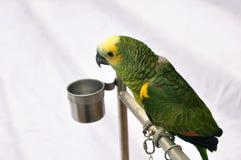 Papagaio Imagens de Stock Royalty Free