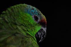 Papagaio Fotografia de Stock Royalty Free