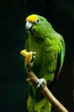 Papagaio fotografia de stock