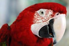 Papagaio Imagem de Stock