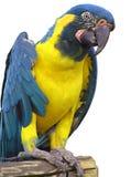 Papagaio Imagem de Stock Royalty Free