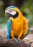 Papagaio amarelo Imagens de Stock