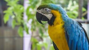 Papagaio amarelo azul da arara Papagaio dourado azul da arara Ara Ararauna Neotropical repete mecanicamente araras Pássaro azul d filme