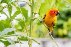 Papagaio amarelo colorido, Sun Conure Foto de Stock