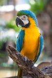 Papagaio amarelo da arara com fundo do borrão Imagens de Stock