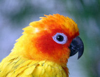 Papagaio amarelo e alaranjado Imagem de Stock Royalty Free