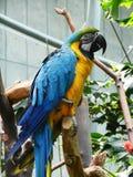 Papagaio amarelo e azul Imagem de Stock Royalty Free